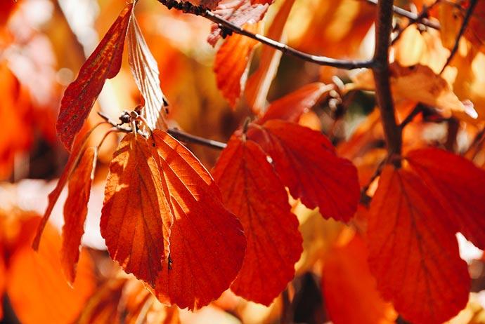 Herbstlaub der Hamamelis