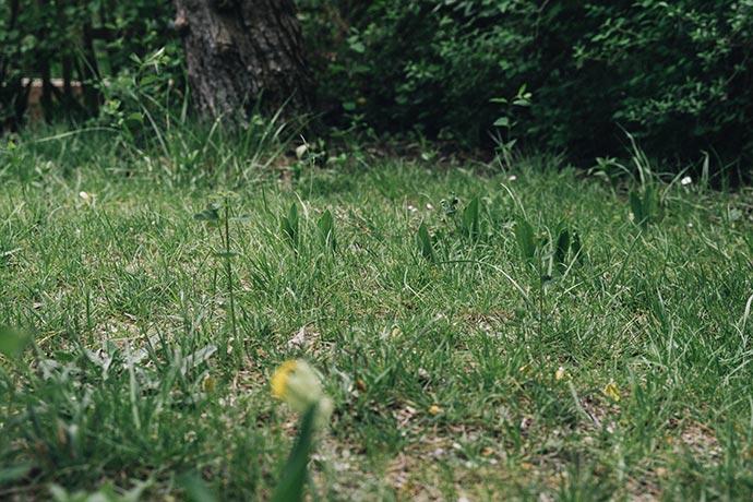 Ungepflegter Rasen mit Unkraut