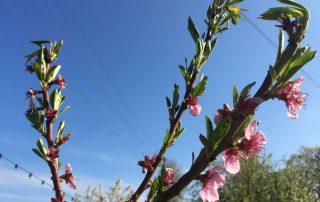 Pfirsichblüte Spätfrost
