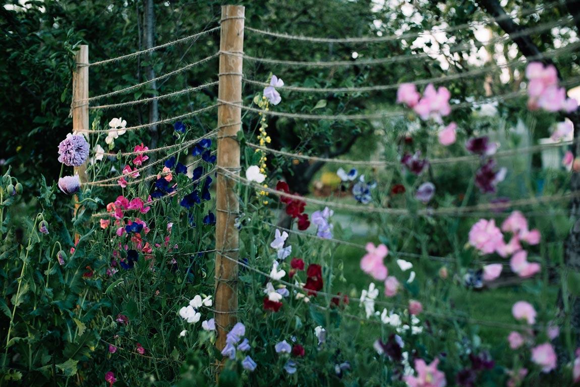 Duftwicken im Garten anbauen