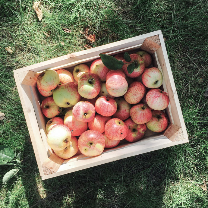 Äpfel aus eigener Ernte