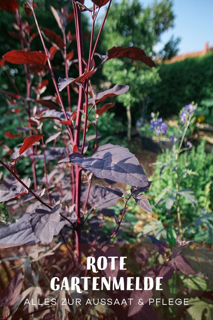 Alte Sorten Rote Gartenmelde