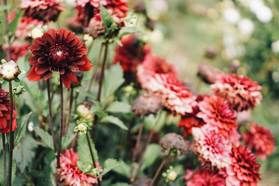 Dahlien im Blumenbeet