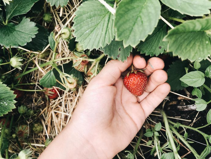 Erdbeeren Kinder ernten