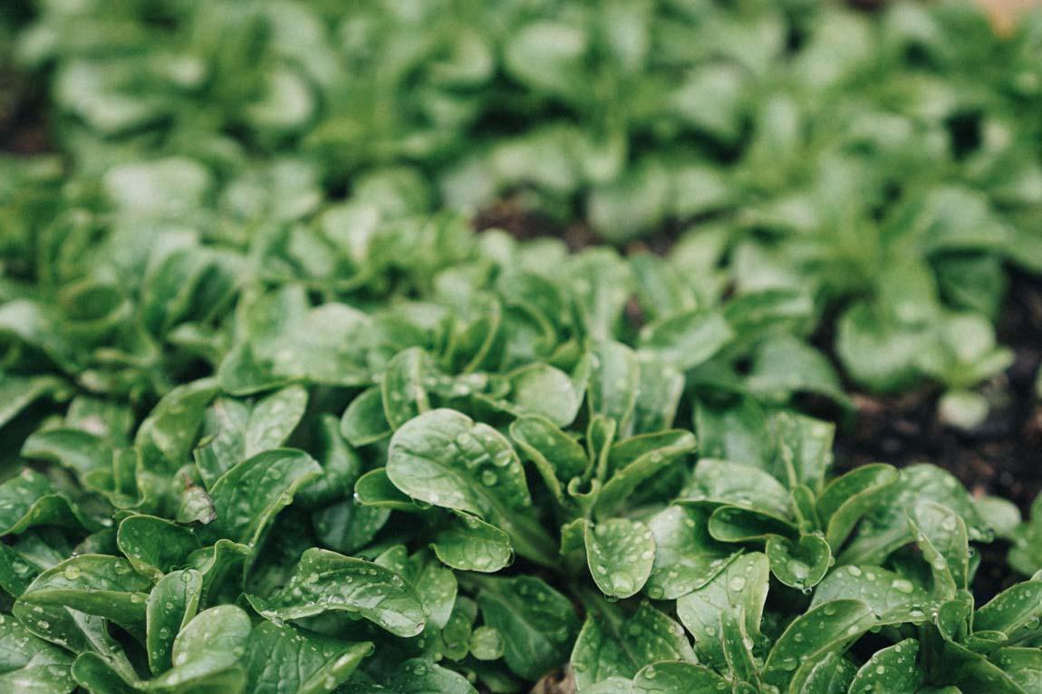 Salat anpflanzen - Pflegeleichtes Gemüse für Anfänger