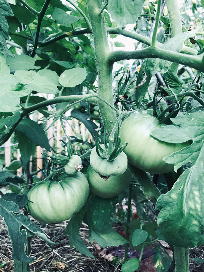 Tomaten Schrebergarten
