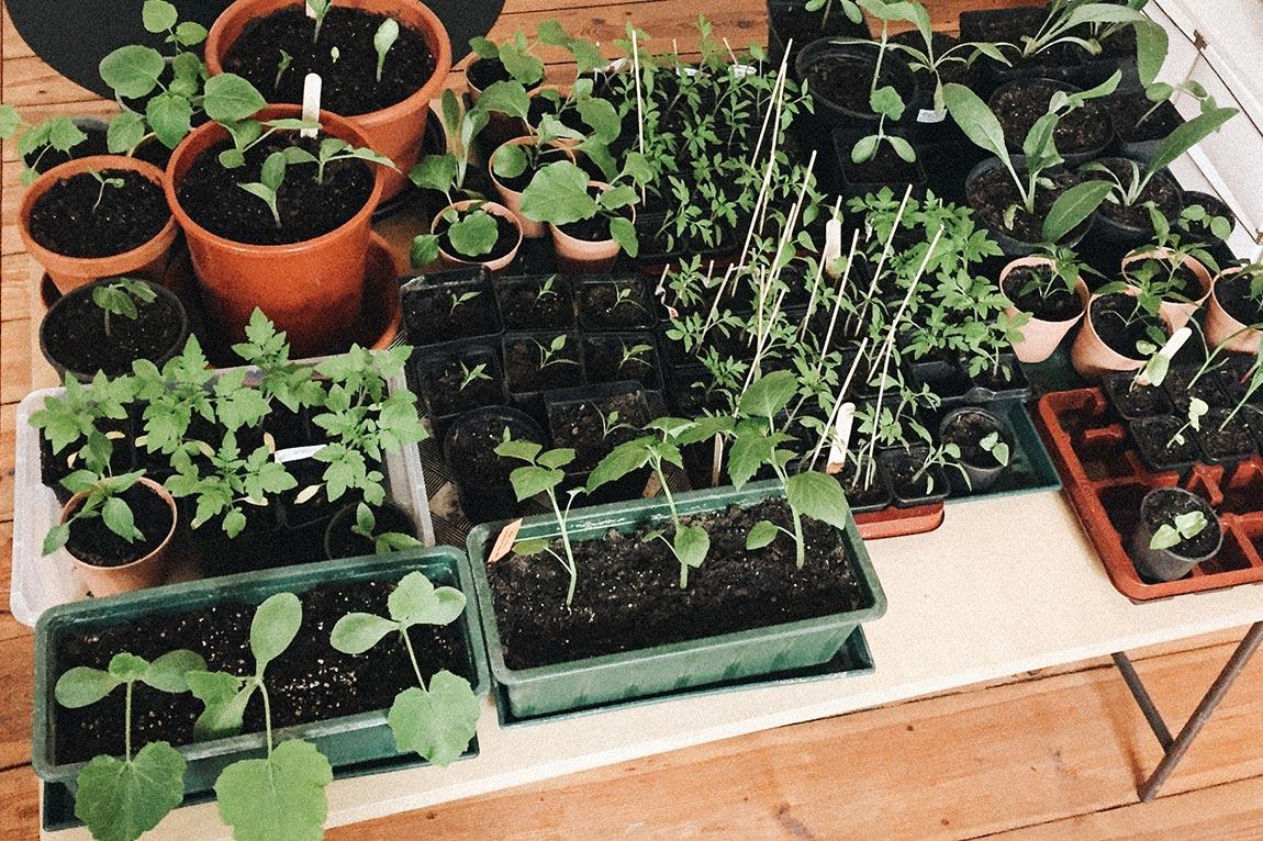Gemüse Jungpflanzen selber ziehen
