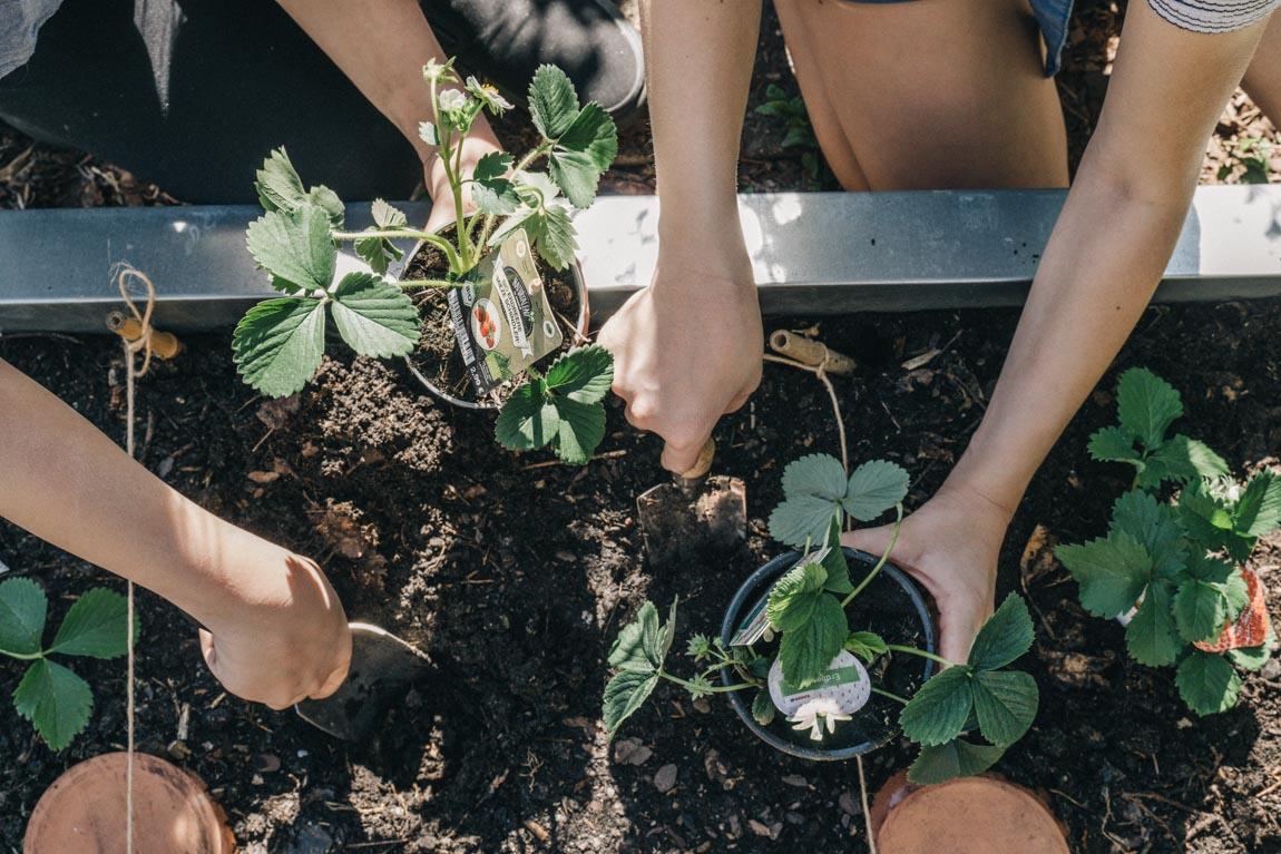 Gärtnern mit Kindern Erdbeeren pflanzen