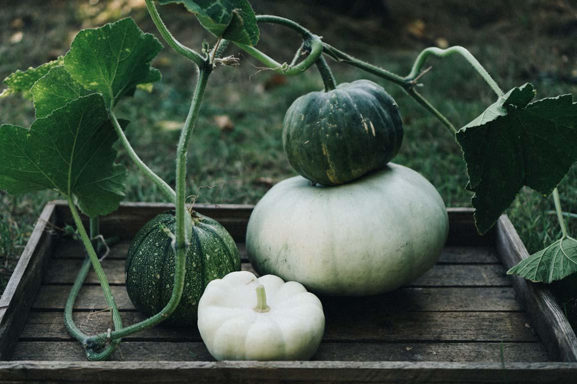 Kürbis anpflanzen - Pflegeleichtes Gemüse für Anfänger