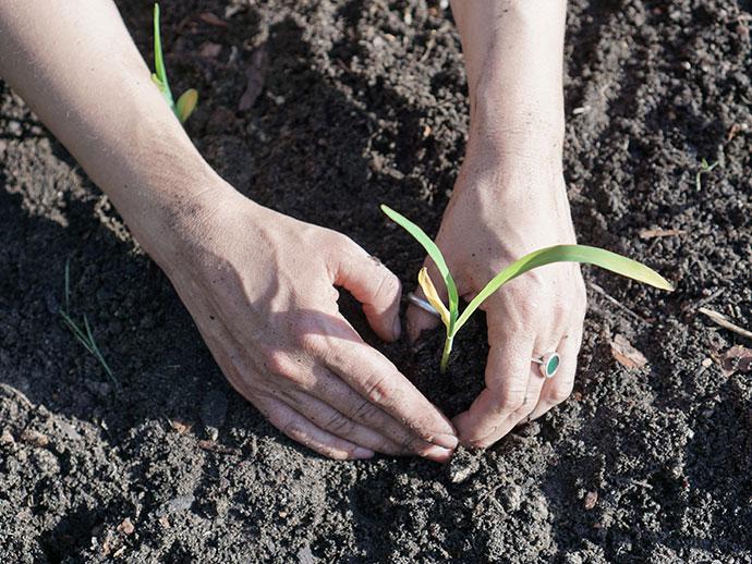 Mais vorziehen und pflanzen für das Indianerbeet