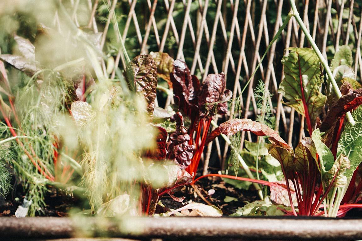 Mangold anpflanzen - Pflegeleichtes Gemüse für Anfänger