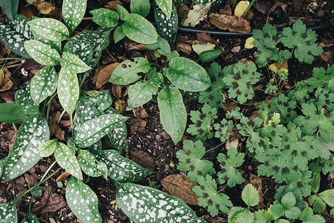 Geranium und Lungenkraut im Schattenbeet
