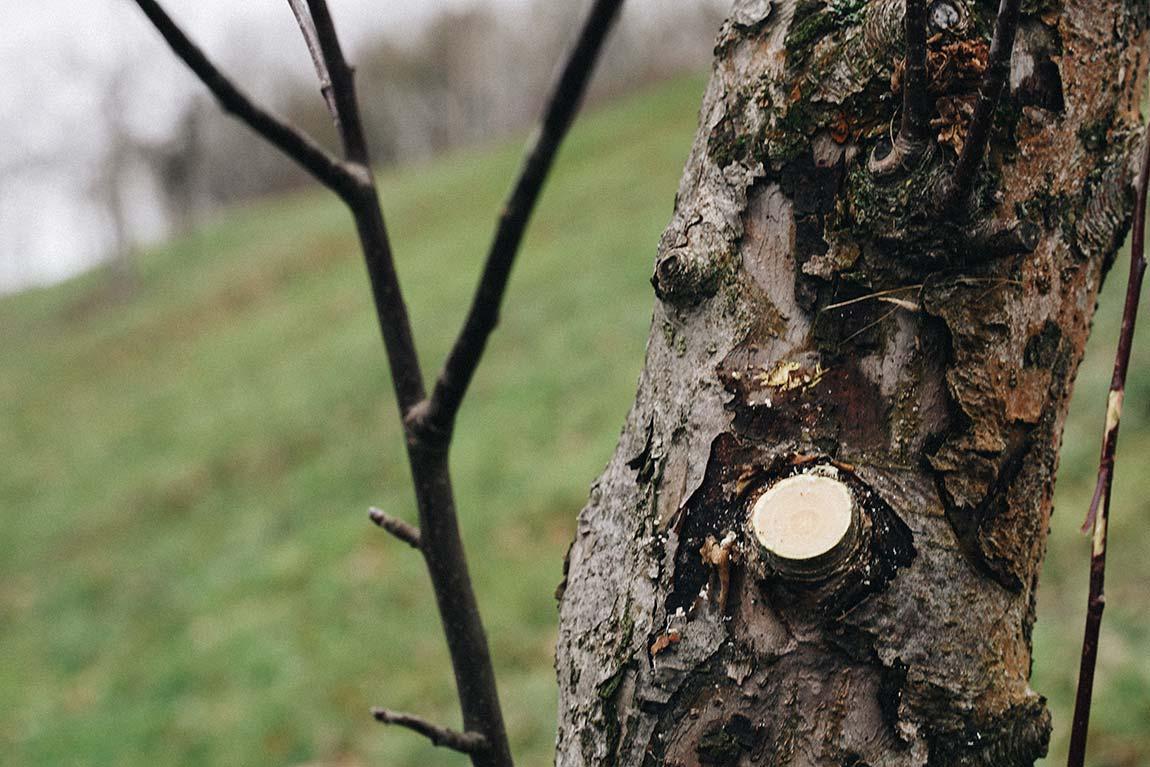Obstbaum Schnitt Wunde verschließen