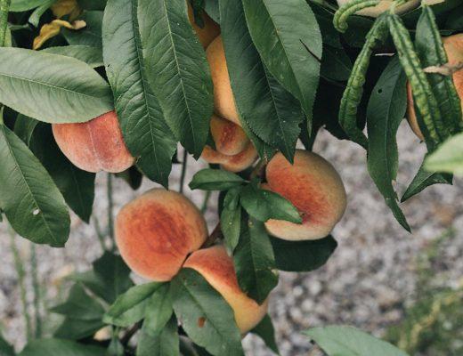 Pfirsichbaum Kräuselkrankheit vermeiden