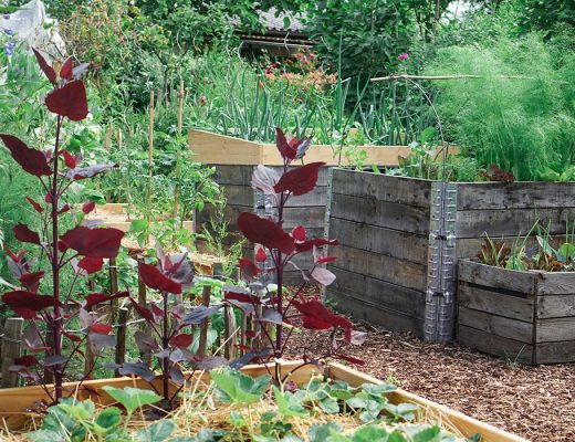 Rote Garte Melde Aussaat , Pflege und Ernte
