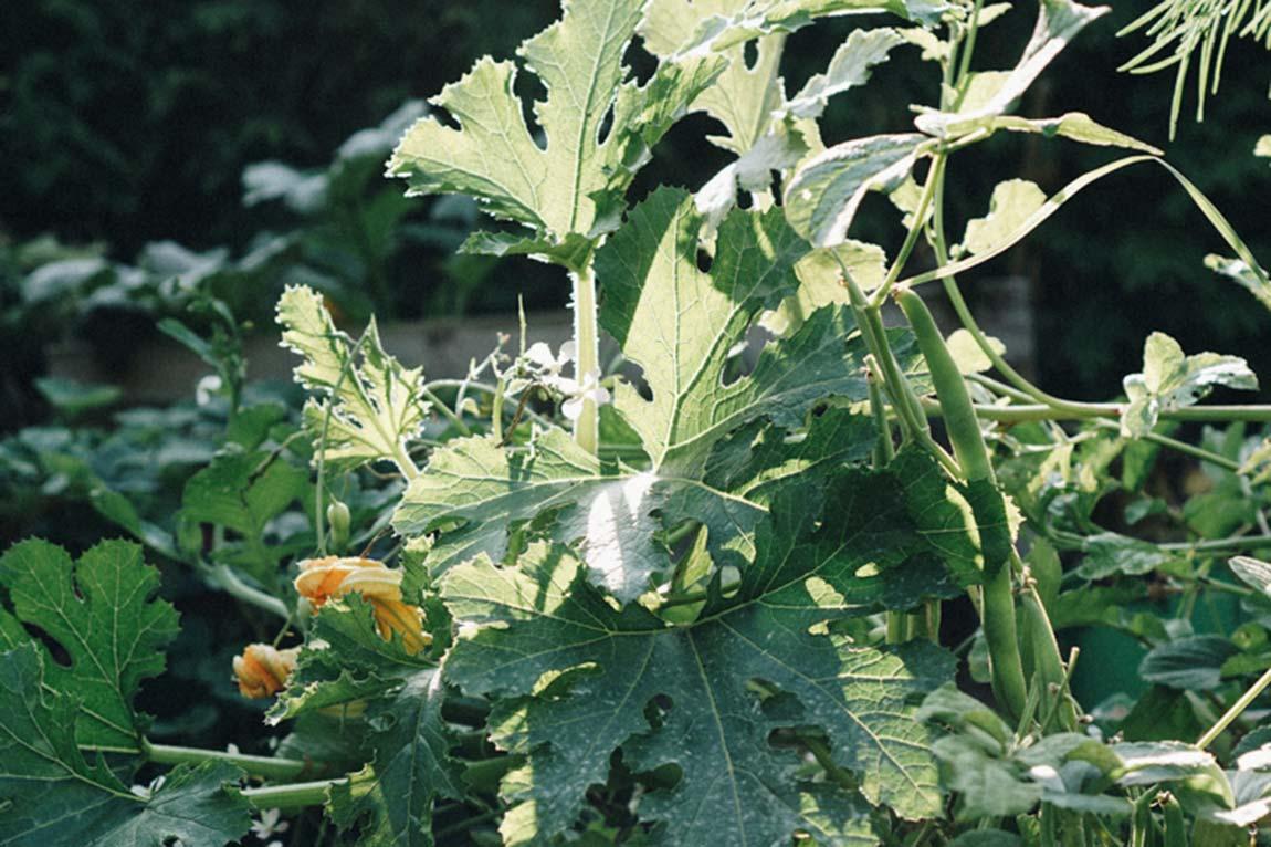 Zucchini - pflegeleichtes Gemüse anpflanzen